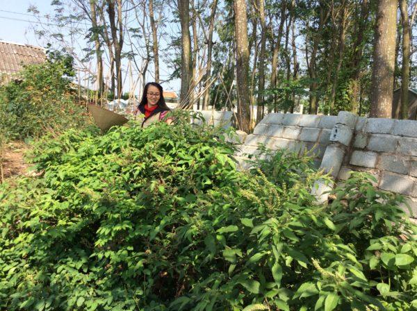 Út Em tại khu vực trồng hương nhu làm túi gội đầu