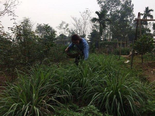 Một góc vườn trồng sả