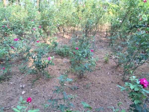 vườn hoa hồng vào mùa hè nở rộ