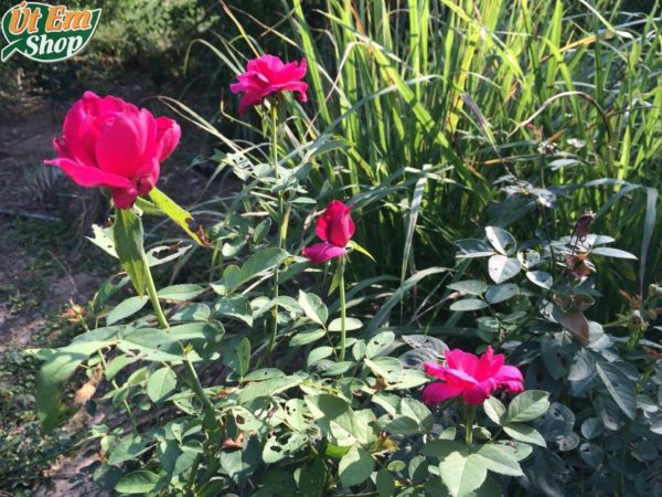 Vườn hoa hồng của Út Em để làm nước hoa hồng