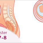 Mang thai tuần thứ 7 và 8