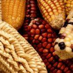 Thực phẩm biến đổi gen có liên quan đến ung thư, dị ứng và giảm tuổi thọ